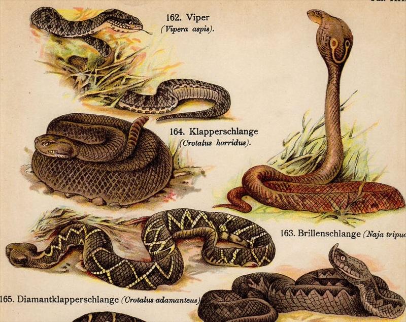パファダー毒蛇